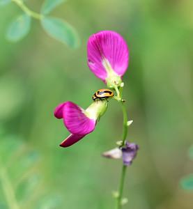 Striped Ladybird - 3762