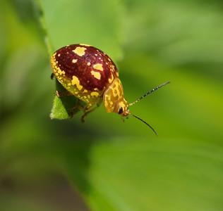 Leaf Beetle_Spotted Paropsine - 7714