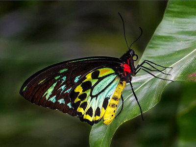 Cairns Birdwing 1279