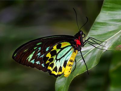 Cairns Birdwing 1279