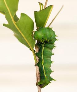 Moth Caterpillar - 2959