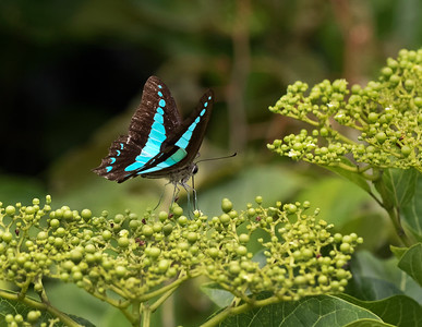 Blue  Triangle butterfly - 5871