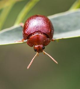 Acacia Leaf beetle - 136