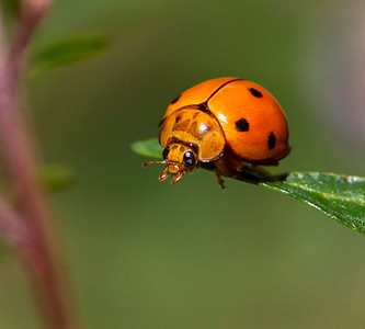 Variable Ladybird_076