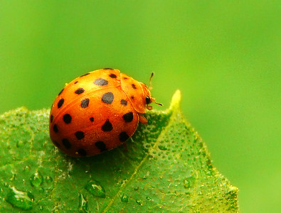 28 spotted ladybird - 005
