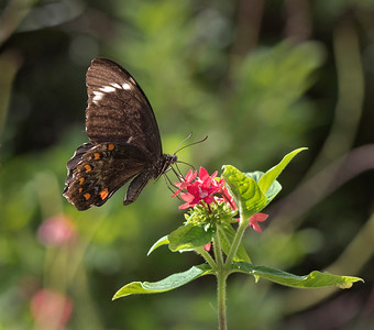 Orchard Swallowtail - 2093