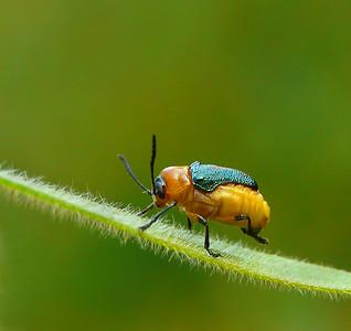 Leaf beetle - 015a