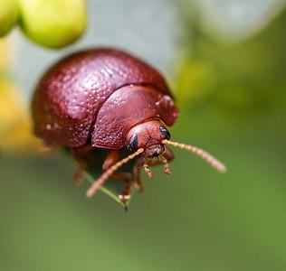 Acacia Leaf beetle - 141