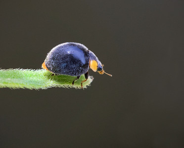 Yellow-shouldered Ladybird_6509