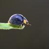 Yellow-shouldered Ladybird_6509