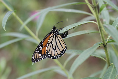 Monarch butterfly - 023