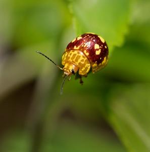 Leaf Beetle_Spotted Paropsine - 7718