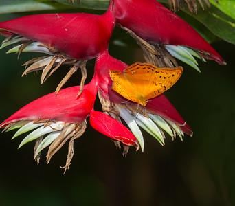 Cruiser butterfly_1028