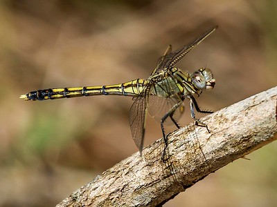 Blue Skimmer,female_4959