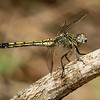 Blue Skimmer,female_4959