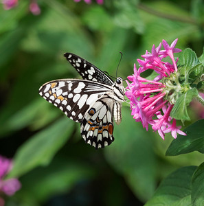 Chequered Swallowtail= 1645