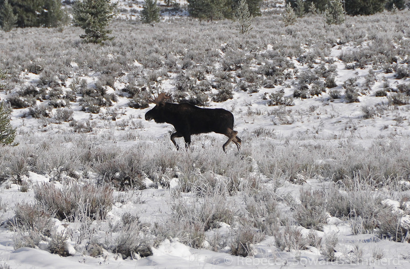 Bull Moose in yellowstone