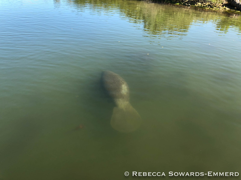 Canaveral National Seashore: Manatee hanging out by the dock at Visitor Center
