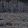 Blurry moose