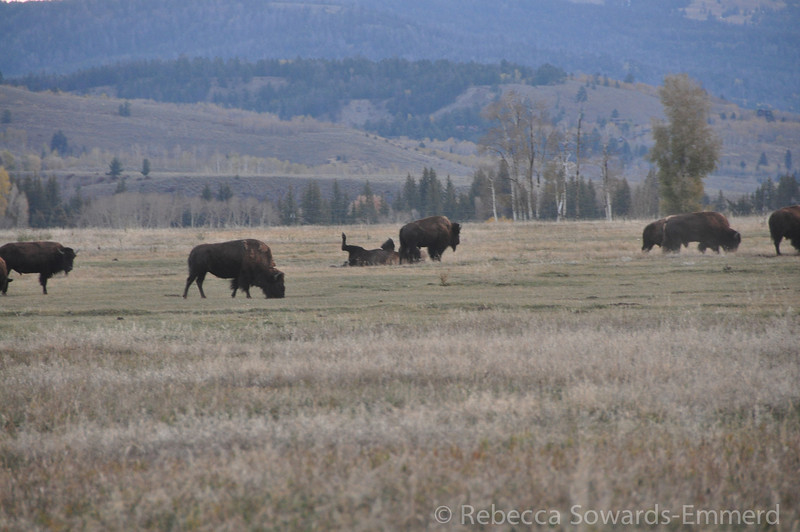 """Bison. All I could think of was the quote from Young Frankenstein: """"roll, roll, roll in ze hay"""""""