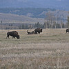 "Bison. All I could think of was the quote from Young Frankenstein: ""roll, roll, roll in ze hay"""