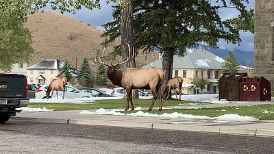 Bull Elk at the Mammoth visitor center