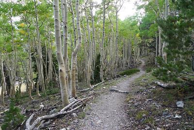 Cool aspen groves along the trail.