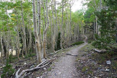 Cool aspen groves along the trail.
