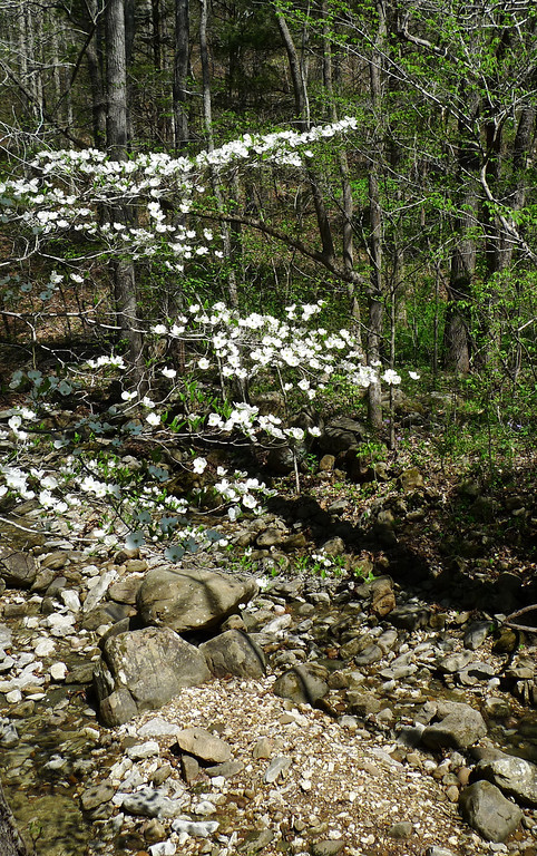 Dogwood at the start of the Lost Valley Trail