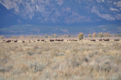 Zoomer on the bison herd