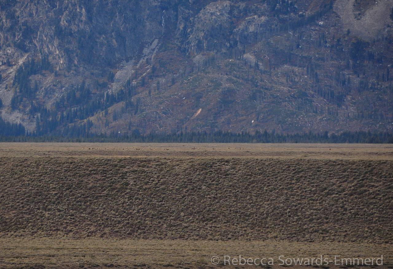 And what is that in the distance? An elk herd!