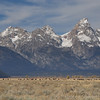 Bison herd and the tetons