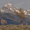 Antelope and the Grand Teton