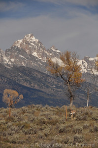 Antelope and the Grand Teton