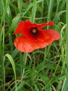 Poppy - Very different than the ones I'm used to seeing in california