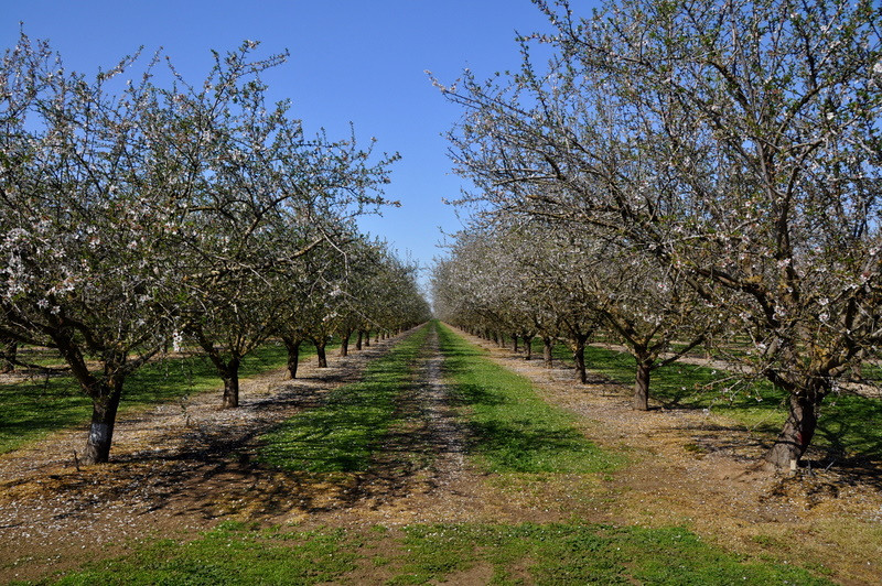 Almond Orchards along 152