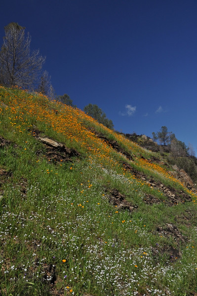 Hillside poppies