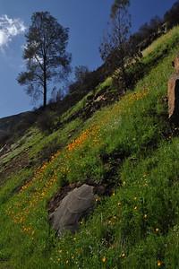 Hillside poppies