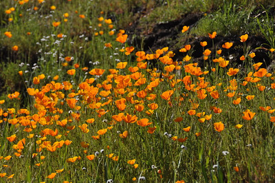 Merced Canyon Poppies
