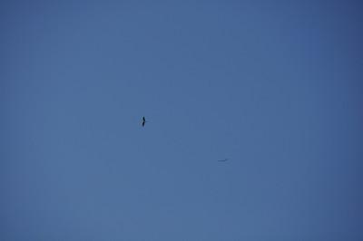 Ospreys at Merced Falls