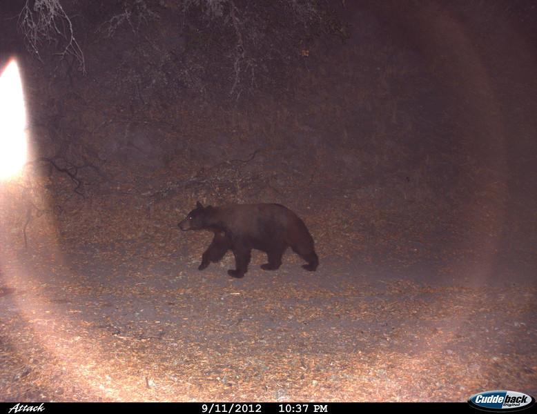 American Black Bear 9/11/12