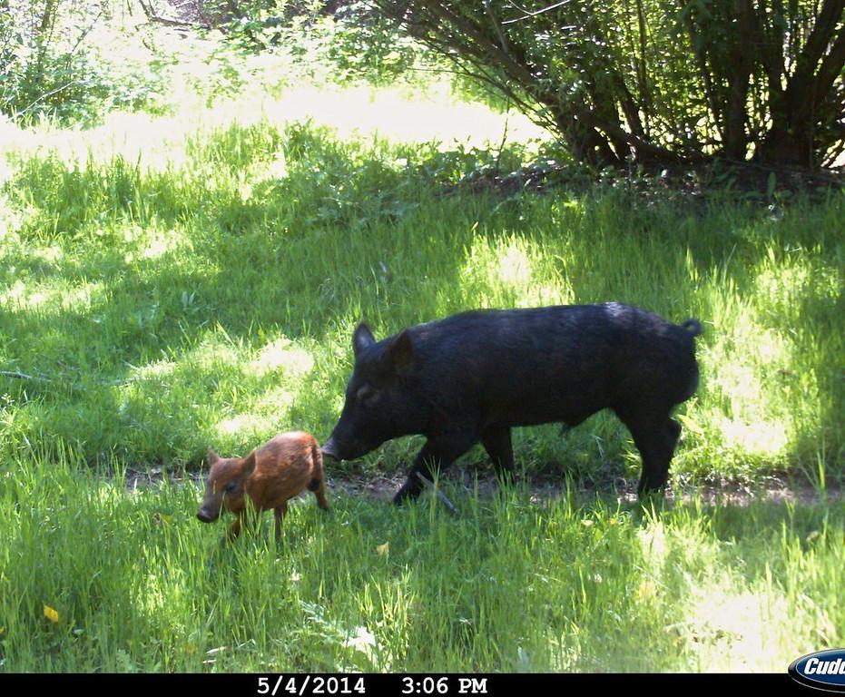 Wild Pig 5/4/14