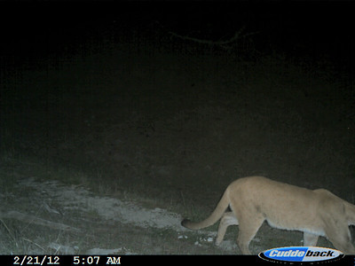 Mountain Lion 2/21/12