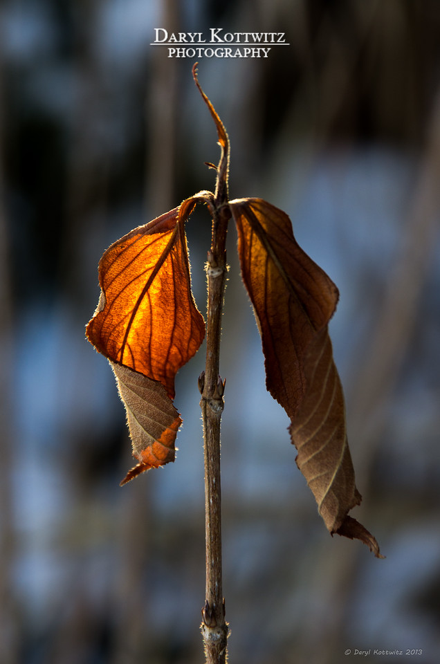 """A couple of """"Holdout"""" leaves shot from our backyard."""