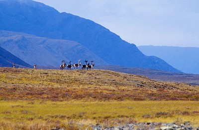 Caribou herd standing on hill