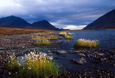 Arctic cotton-grass