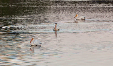 American white pelican IMG_2908