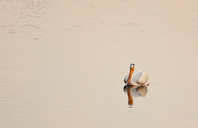 American white pelican IMG_2899 (2)