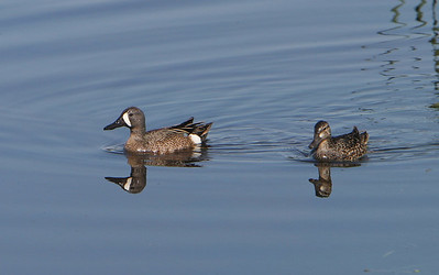 Blue-winged Teal, male and female.  #1520