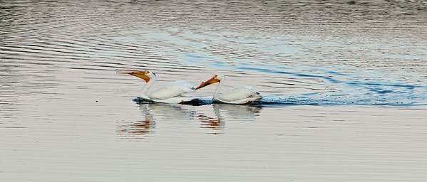 American white pelican IMG_2914